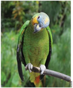 This Amazon parrot, perched in the rainforest, belongs to a species that lives in forests and woodlands, usually near major rivers in Brazil, Peru, Venezuela, Colombia, Ecuador and Guyana.