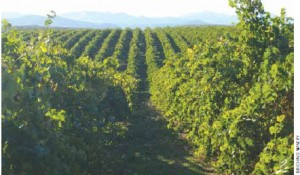Birichino's Malvasia vineyard is producing some great white wine. Its 2010 is floral and  citrusy while still dry and clear.