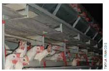 Battery-caged egg-laying hens in life-long confinement.