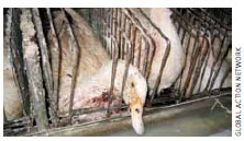 An injured duck on a Quebec foie gras farm where many suffer internal damage from force-feeding tubes.