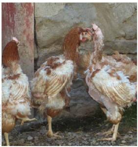 Hens rescued from an egg barn at slaughter time and now living at Cedar Row Sanctuary, were suffering from feather loss. After a few months in factory farms, many have broken feathers from hitting them against the bars of their extremely cramped cages.