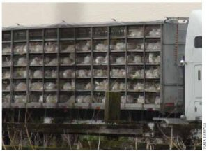 Turkeys from a Manitoba turkey farm in an overloaded, untarped truck enroute to a slaughterhouse.
