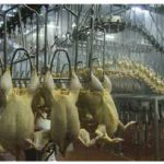 Solutions for inhumane slaughterhouse practices