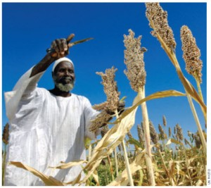 A farmer in Nyala, Sudan, harvests sorghum produced from seeds donated by the Food and Agriculture Organization.