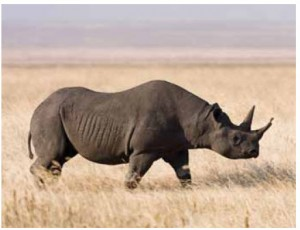 The rare purse-lipped black rhinoceros (which is actually grey in colour) has already been killed in West Africa. Between it and the wide-lipped white rhinoceros, 1,000 are being slaughtered by poachers each year. Only 25,000 remain.