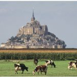 A field of cows in front of the Abbey of Mont-Saint-Michel.