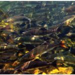 Swimming with the spawning salmon