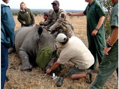 The sad fate of the rhino in Africa