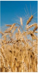 Wheat is a major Iraqi import from Canada. (Photo: Markus Hagenlocher)