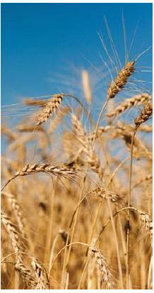 Wheat is a major Iraqi import from Canada. (Photo: Markus Hagenlocher)