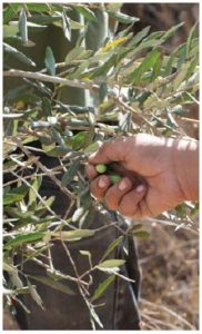 Olives are a major Palestinian export. (Photo: © Rrodrickbeiler | Dreamstime.com)