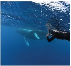 Writer Donna Jacobs photographs a whale surfacing for a breath. These are the most-prized times for the snorkellers —  a chance to be very close to the whales who sometimes sociably approach. (Photo: Mike Beedell)