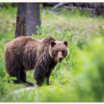 Grizzly bears such as this one can be seen, hopefully from afar, at Jasper National Park. (Photo: Dwayne Reilander)