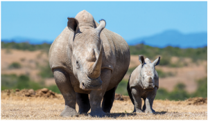 """In 1900, the population of white rhinos (two are pictured here) stood at an estimated 250,000. Now they number 20,000 and are officially classified as """"near threatened."""" Demand from China and Southeast Asia for rhino horns and elephant tusks drives poaching. (Photo: © Volodymyr Byrdyak 