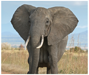 In 1930, one could count as many as 10 million elephants roaming more than 50 African countries. In 2019, no more than 400,000 remain. (Photo: Muhammad Mahdi Karim)