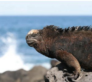 Iguanas are found on the Galapagos Islands — they are one of Ecuador's 350 species of reptiles. (Photo: Ecuador tourism)