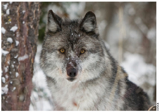 Canada's boreal forests are crucial habitat for some of the world's largest remaining populations of timber (grey) wolves, grizzly bears and woodland caribou.