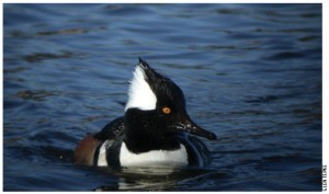 The hooded merganser is one of 96 species with 50 percent or more of estimated Western hemisphere breeding population in North America's boreal forest.