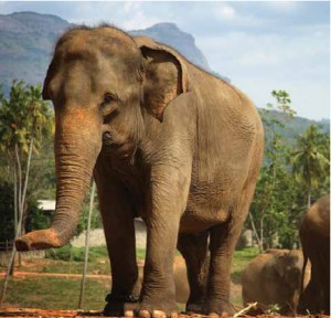 In Sri Lanka, you may watch dinnertime at an elephant orphanage although the fact that they're sometimes chained (see this elephant's right front leg) concerns some visitors.