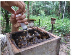 Meliponas nectar from wild Amazon bees is carefully extracted. Almost 80 species per hectare have been found in pristine tropical forests.