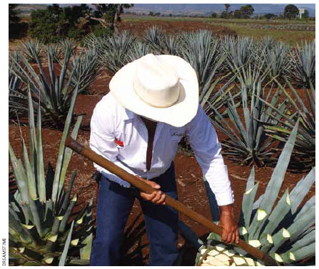Agave, the plant used to make tequila, is another of Mexico's resources.