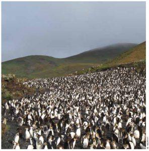 A royal penguin rookery at Macquarie Island, 1,500 kilometres southeast of Tasmania.