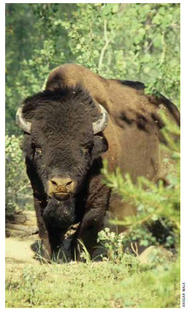Wood Buffalo National Park in Alberta is home to one of the largest free-roaming herds of bison in North America.