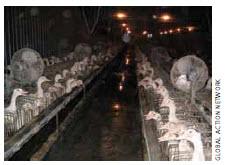Ducks caged on a foie gras farm in Quebec.