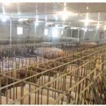 Most gestation stalls will be phased out by 2022 when eight large grocery chains refuse pork from such cage-confined pigs.