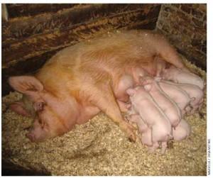 A sow on an organic farm, nursing her piglets in open housing.