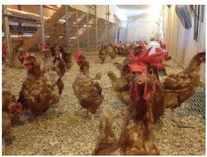 Free-run roosters