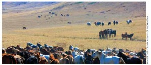 Herds of horses in the steppe.