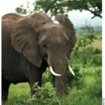 Chinese nationals, but not necessarily the Chinese government, are also responsible for fuelling a spike in poaching elephants for their tusks and rhinoceroses for their horns.