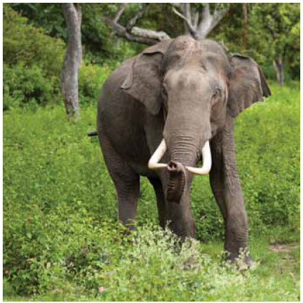 If 30,000 to 35,000 big African elephants continue to be slaughtered for their tusks every year, elephants may be at risk of eventual extinction.