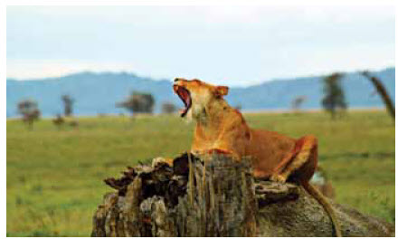 Lions are not being poached, but for genetic reasons, about a third of the lions of Africa have disappeared in the past 20 years.