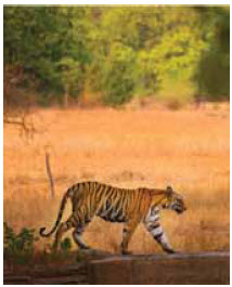 Kanha National Park's forests are home to diverse natural life, including tigers.