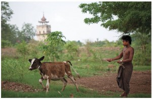 After Cyclone Nargis in Myanmar in 2008, World Animal Protection's disaster response team worked with surviving draught animals to help avert a second disaster in the form of severe food shortages and loss of income.