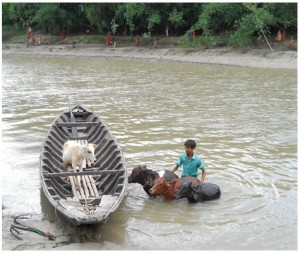 A young man moves his animals across a swollen river during a flood in West Bengal, 2011.