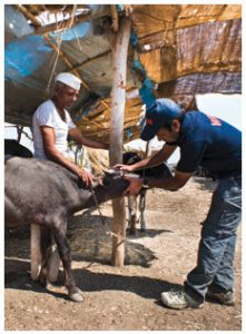 Dr. Akash Maheshwar examines a dehydrated water buffalo calf at a cattle camp set up by the Maharashtra government.