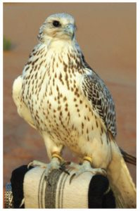 Falcons were frequently used for hunting in the UAE.