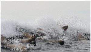 The ocean water is unbroken for kilometres, except for a very small reef that  serves as a playground for sea lions who line up to wait for a wave to ride.