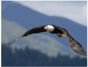 Bald eagles abound along the Vancouver Island coast, especially during salmon-spawning season.