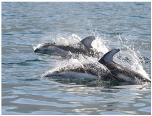 Pacific white-sided dolphins race alongside the yacht and play in the wake.