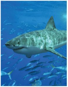 Adventurers can swim with the sharks at Isla Guadalupe, Mexico.(Photo: Terry Goss)