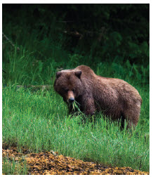 Canada's only grizzly bear sanctuary is located in British Columbia's Khutzeymateen Provincial Park.  (Photo: gander178)