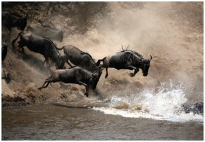 Migrating wildebeests jump into the Mara River in the Masaï Mara Reserve. The migration of the wildebeest in August is a major attraction in this part of Kenya. (Photo: © Paulbanton72)