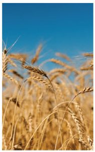 Italy is the No. 1 destination market for Canadian grain. (Photo: © Tashka | Dreamstime.com)