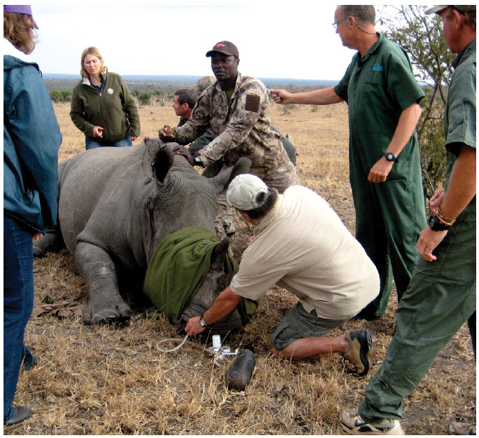 An anesthetized female rhino is geo-tagged and ear-notched, while biological measurements are taken, as part of efforts to fight rhinoceros poaching.