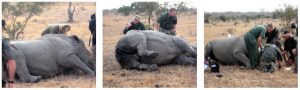 The anesthetized rhino has to be rolled onto her chest so she does not suffocate. Others, whose horns get poached, aren't so lucky.