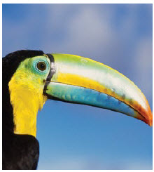 Toucans are one of the many kinds of tropical birds found in Panama. (Photo: panama tourism)
